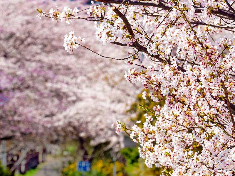 白石こころーどの桜